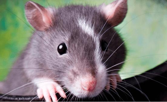 Фото повреждение изоляции шнура крысой