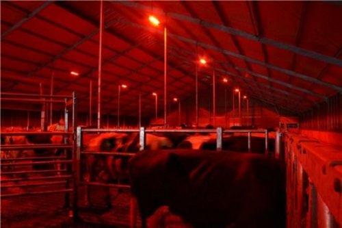 Ночное освещение коровника